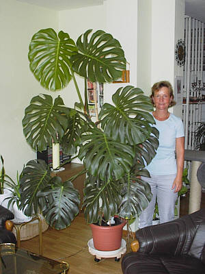 Pflanze monstera